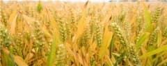 峰川18小麦品种介绍