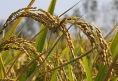 水稻种植技术对产量和品质的影响,水稻种植方法