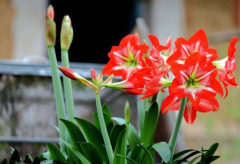 朱顶红樱桃妮芙和双龙的区别,朱顶红种植方法总结