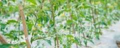 早春黄瓜育苗时间表