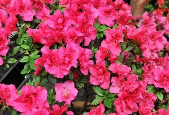 四季杜鹃花的种植方法是什么 有哪些注意事项