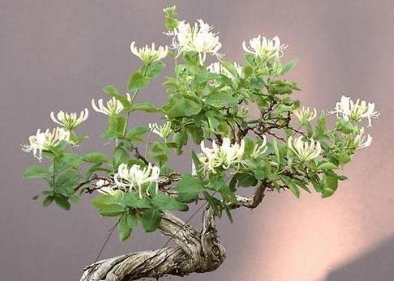 新栽的金银花老桩多久才发芽 养护时应该注意些什么