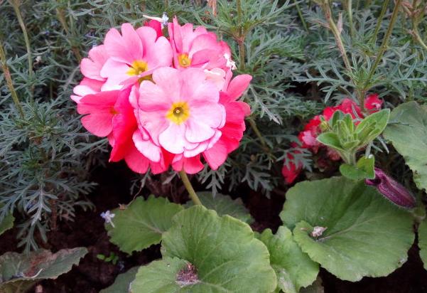 四季樱草的种植方法是什么 有哪些注意事项