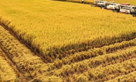 防治南方水稻黑条矮缩病综合技术 水稻养殖需要注意什么