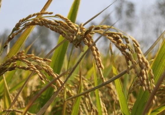 千金子对水稻有哪些危害 选择哪些除草剂效果好呢
