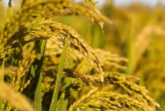 水稻幼穗分化如何管理 详解水稻幼穗分化