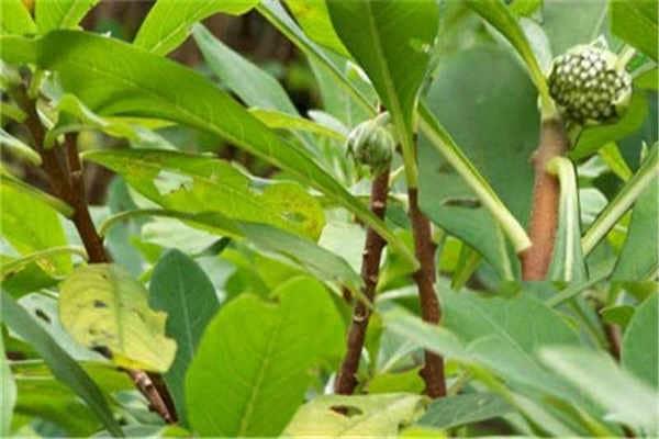 绿萝花茶多少钱一斤