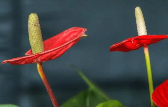 红掌好养殖吗 养护时应该注意些什么