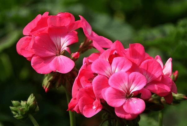 天竺葵的种植方法是什么 有哪些注意事项