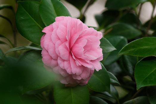 茶花冬天怎么养 养护时有哪些注意事项