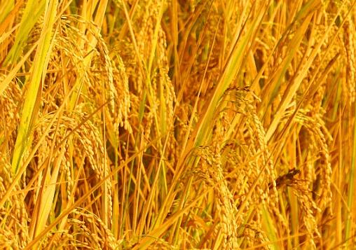 水稻新品种苗稻2号高产栽培技术 水稻种植方法总结