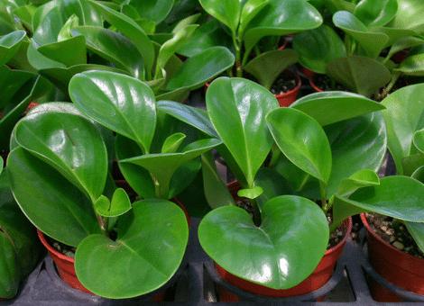 碧玉的种植方法是什么 有哪些注意事项