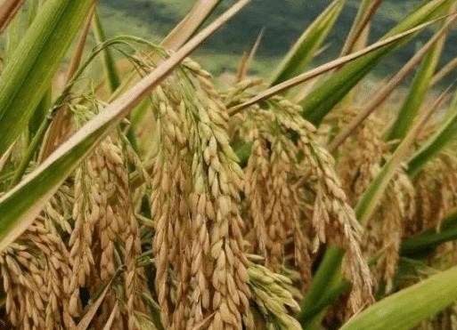 浅谈水稻两壮两高栽培技术 水稻怎么养殖比较好