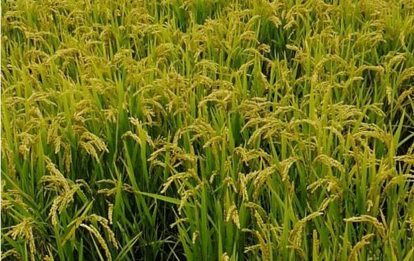 小暑期间水稻田间管理方法是什么 如何能增产