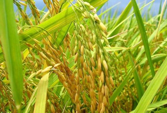 水稻负泥虫怎么防治 综合防治方法是什么