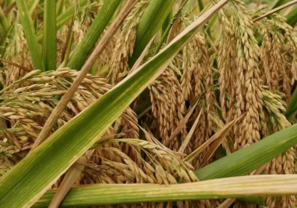 水稻倒伏的原因是什么 预防措施有哪些
