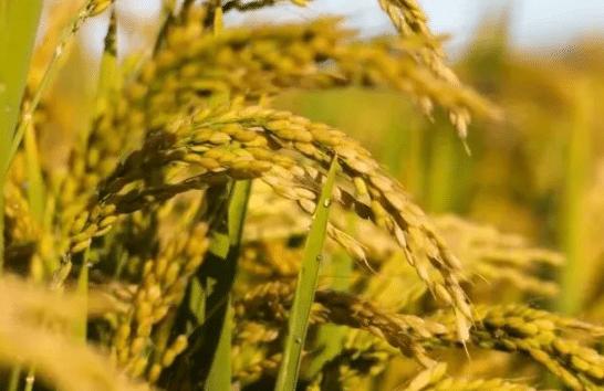 湖北省早稻生产技术 水稻怎么高产养殖