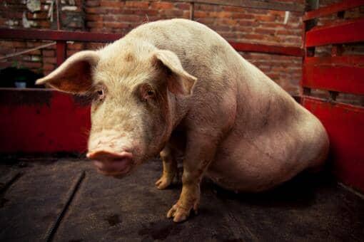10月猪价会有涨吗