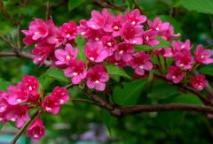 锦带花一年开几次花,养护时有哪些注意事项