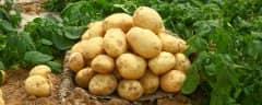马铃薯最佳追肥时间