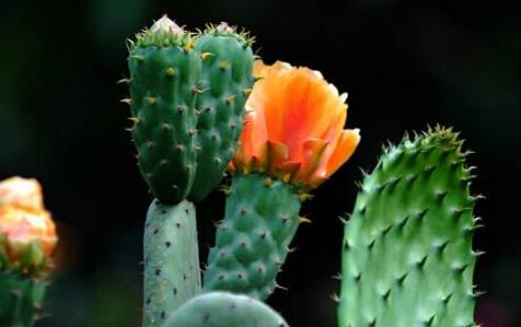仙人球不开花是怎么回事 养护注意事项总结