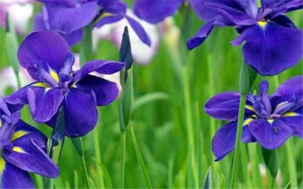 紫罗兰花在家里怎么养