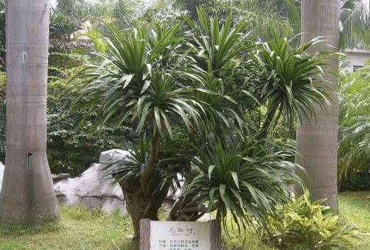 龙血树怎么养护 冬季养护时有哪些注意事项