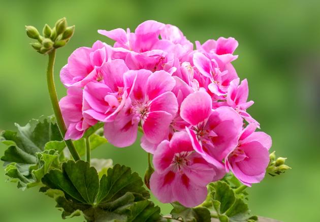 天竺葵是绣球花吗 二者有什么区别