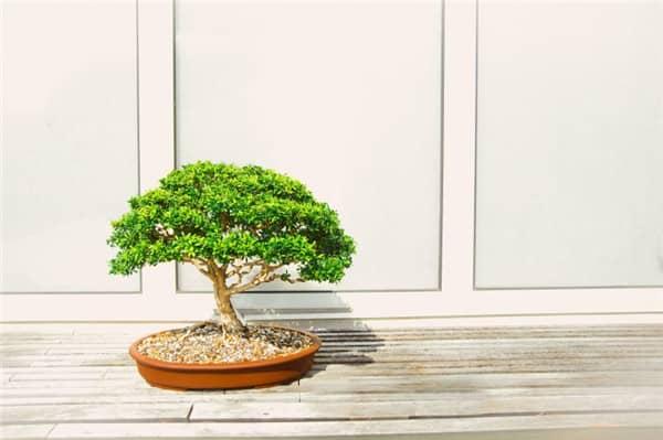 最稀有的盆景树种有哪些 你知道几个