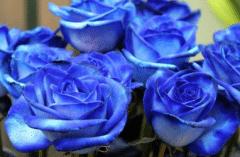 蓝色妖姬的花语是什么,送不同朵数有什么寓意