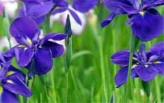 紫罗兰花在家里好养吗,怎么养,插水里活多久